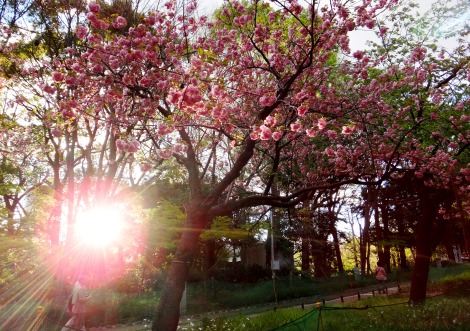Foto Friday: Ueno Sakura