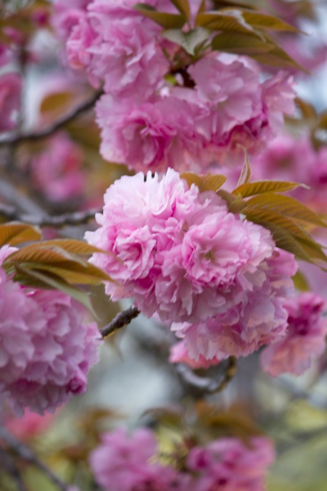 Sakura Saku